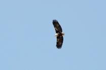 Afrikanischer Fischadler - African Fish Eagle