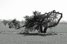 Crippled tree - Verkrüppelter Baum